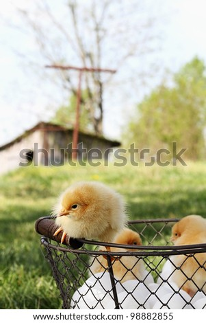 Little Buff Orpington chicks sitting on top of an egg basket with chicken coop in far background. Extreme shallow depth of field.