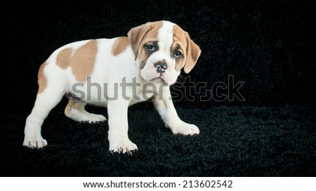 Little Bulldog puppy looking sad about something with copy space on a black background. - stock photo