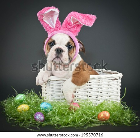 Little Bulldog puppy sitting in a basket wearing Easter bunny ears on a black background. - stock photo