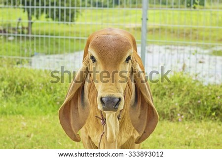 little calf standing on grassland and looking into the camera   - young cow / cute animal - stock photo