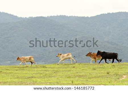 little cattles Happyness on grassland with mountain background.