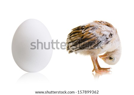 little chick with egg background, isolated, funny stoop head - stock photo