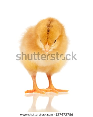 Little chicken isolated on white background - stock photo