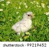 little chicken on a grass - stock photo