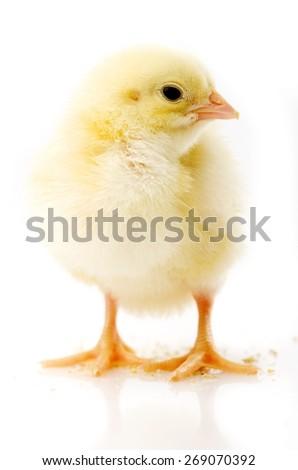 little chicken on white background - stock photo