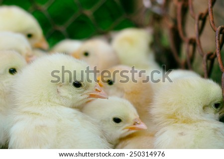 Little chickens on green background