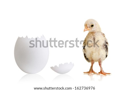 little chicks and white egg on white  background, isolated