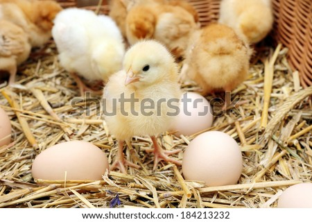Little chicks in the hay with eggs - stock photo