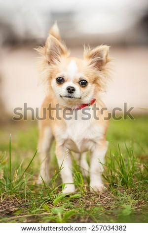 Little chihuahua dog - stock photo
