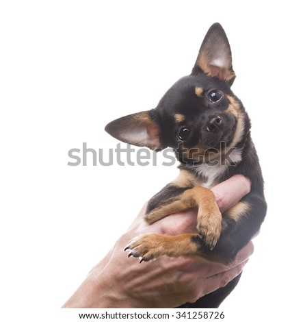Little chihuahua dog on the hands isolated on white background - stock photo