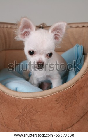 little chihuahua pup sitting in a bag