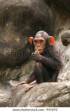 Little chimpanzee (Pan troglodytes)  (image contains some noise)