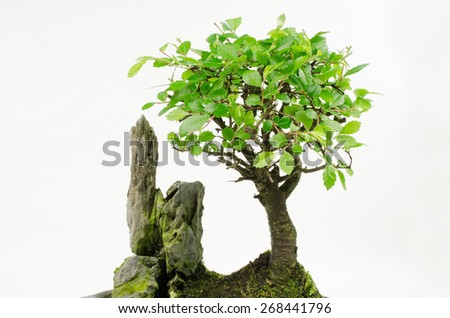 little chinese elm (young bonsai) - stock photo