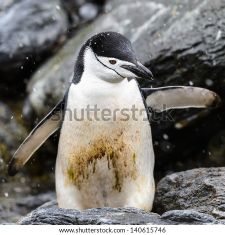 Little Chinstrap penguin with a dirty stomach - stock photo