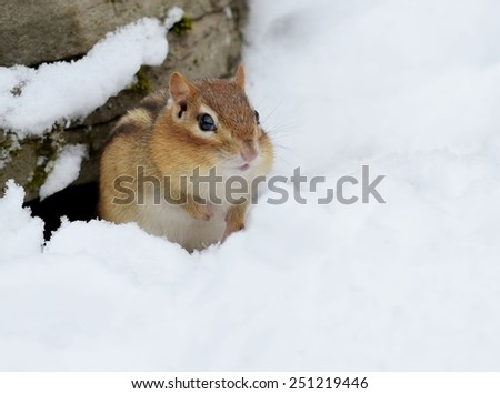 Little chipmunk digging out of the snow - stock photo