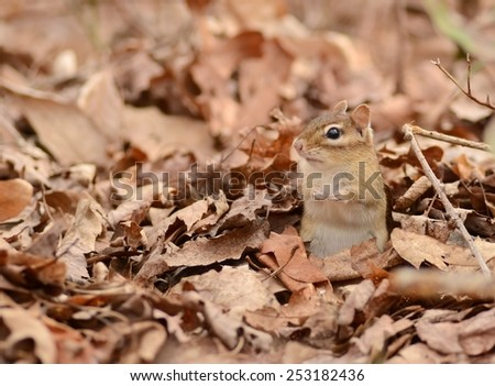 Little chipmunk hiding in a pile of leaves - stock photo