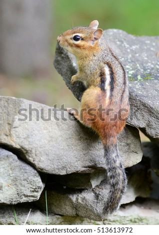 Little chipmunk looking over a rock wall