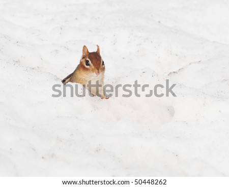 little chipmunk pops out of his burrow in the winter