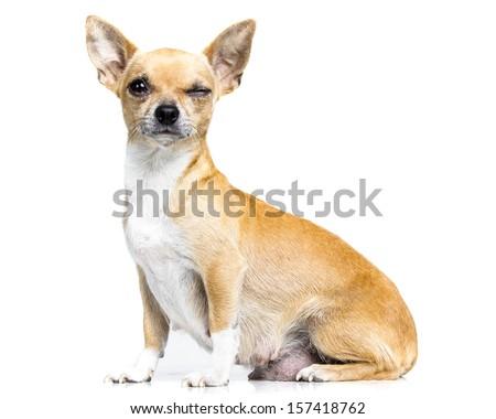 little chiuhauha - stock photo