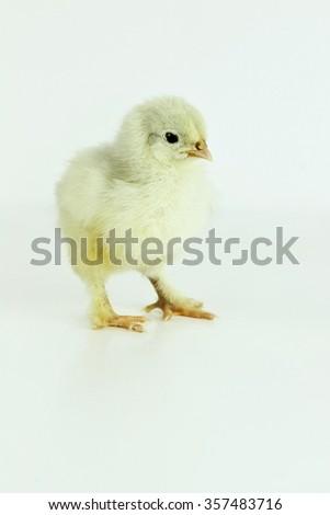 Little Cochin chick all alone. - stock photo