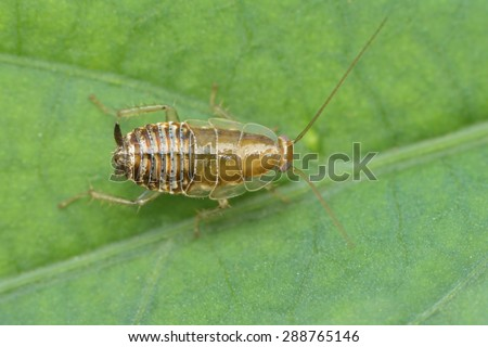 Little Cockroach resting on the leaf - stock photo
