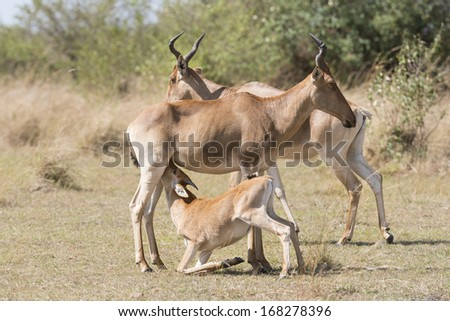 Little Cokes Hartebeest (Alcelaphus buselaphus) antelope suckling its mother , Masai Mara National reserve, Kenya, Africa - stock photo