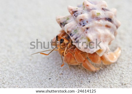 Little crab in his shell - stock photo