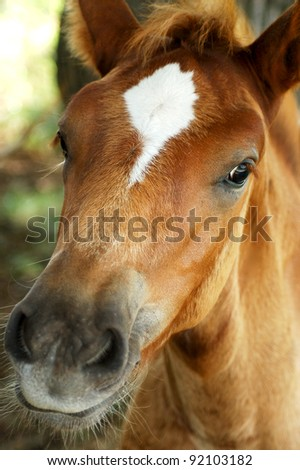 Little curious foal looks into the camera - stock photo