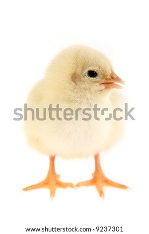 Little cute baby chicken on white background.