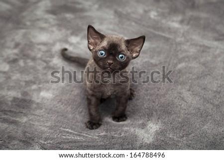 Little cute black devon rex kitten - stock photo
