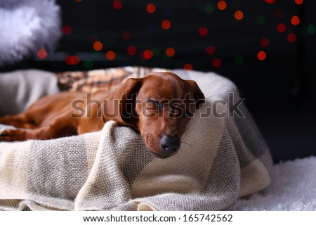 Little cute dachshund puppy on Christmas background - stock photo