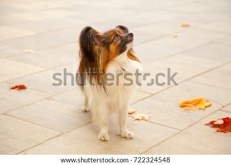 Simple Papillon Canine Adorable Dog - stock-photo-little-cute-dog-papillon-in-the-autumn-park-722324548  Photograph_358568  .jpg