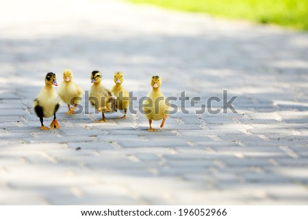 Little cute ducklings, outdoors - stock photo