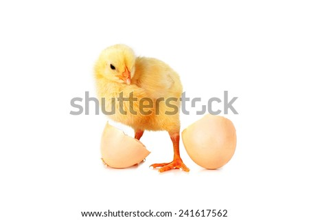 little cute fluffy  chicken and shell of egg  isolated  - stock photo