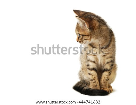 Little cute grey striped kitten isolated on white background. Domestic pet close-up. - stock photo