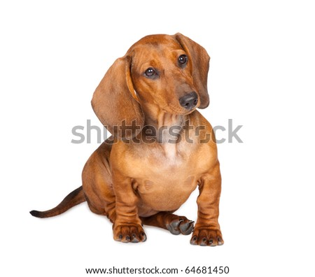 little dachshund puppy isolated over white background - stock photo