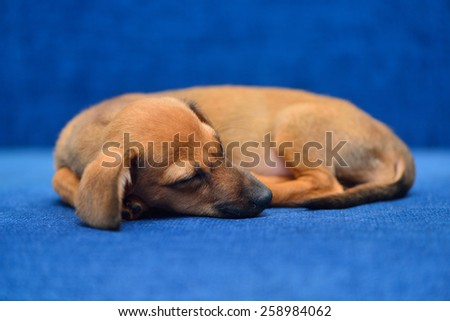 Little dachshund sitting on a blue background and looking at the camera - stock photo