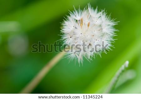 little dandelion struggle to survive - stock photo