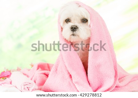 Little dog at spa resting before grooming - stock photo