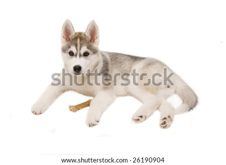 little dog husky isolated on white