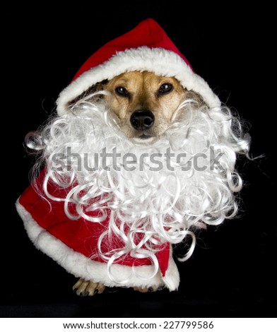 little dog in dress - stock photo