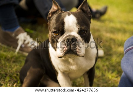 Little dog looking at the camera - stock photo