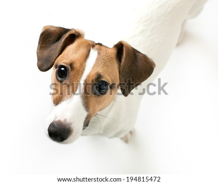 Little dog looking directly at camera with interested look - stock photo