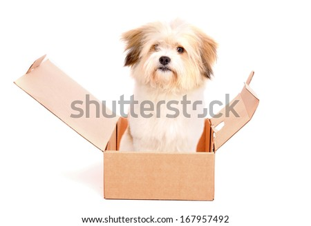 little dog on a box isolated in white - stock photo