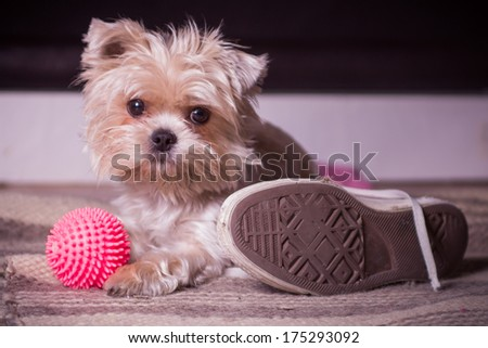 Little dog waiting for his owner - stock photo