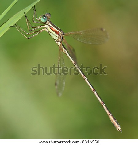 Little dragonfly with metallic stripes and big green eyes - stock photo