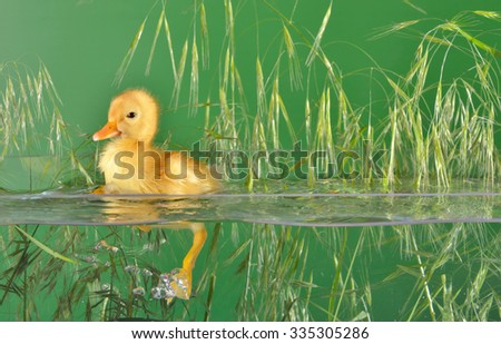 little duck floating in water isolated - stock photo