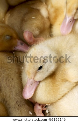 Little Ducklings