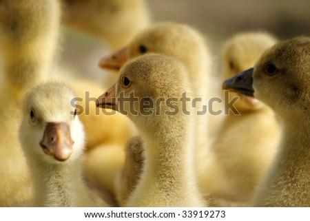 Little ducks - stock photo