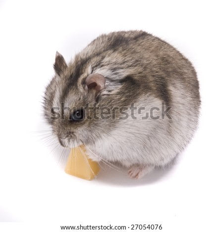 little dwarf hamster eating cheese - stock photo